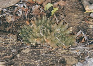 Haworthia maculata var. intermedia JDV86/108 Buitenstekloof. The plants grow amongst Restionaceae. There is a close connection with H. maraisii var. notabilis.