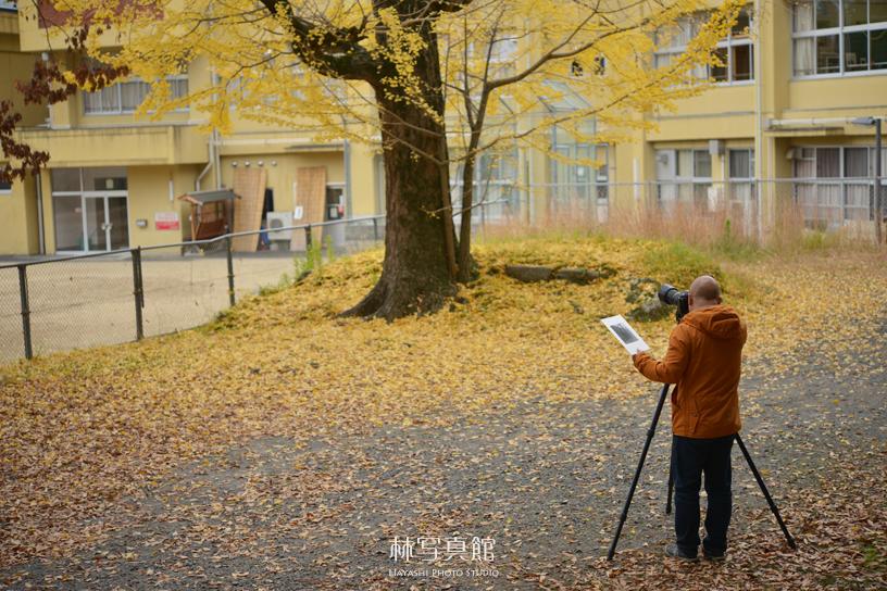 撮影   イチョウの木