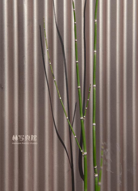 植物 | トタン | 影