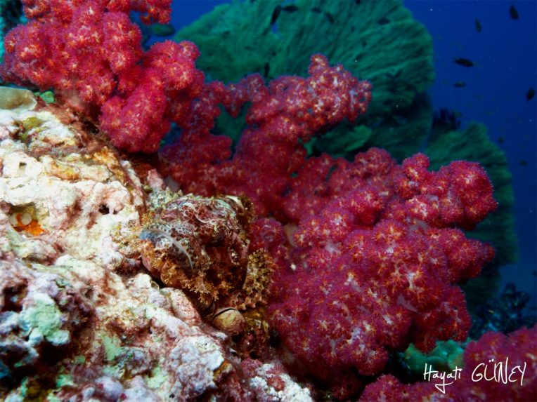 Andaman - Scorpion Soft Coral