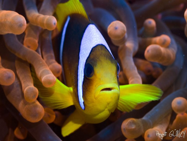Red Sea – Red Anemon
