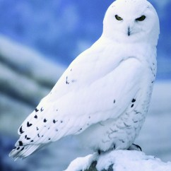 Snowy Owl Adaptations Diagram 4 Prong Night Vision 5 Interesting Facts About Owls Hayden 39s Animal