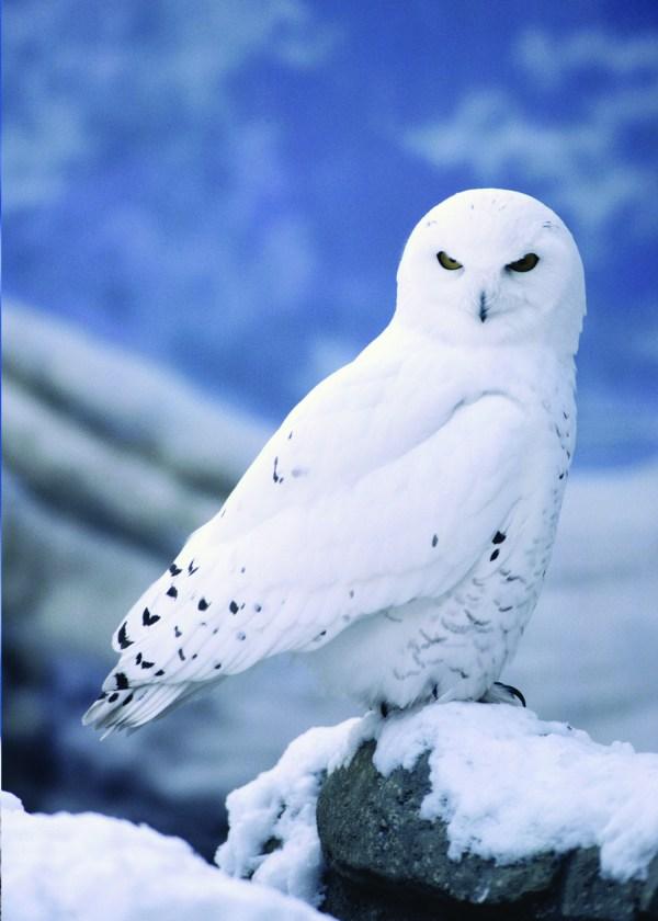 5 Interesting Facts Snowy Owls Hayden' Animal
