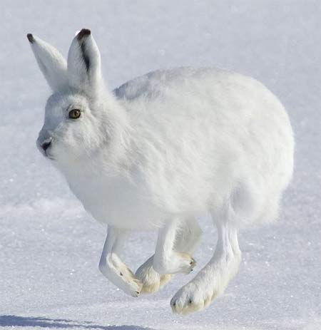 5 Interesting Facts About Arctic Hares Hayden39s Animal Facts