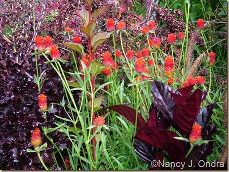 Gomphrena Strawberry Fields Pseuderanthemum Atropurpureum Lettuce Merlot Aug 11 08