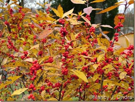 Ilex verticillata Winter Red berries Nov 10 08