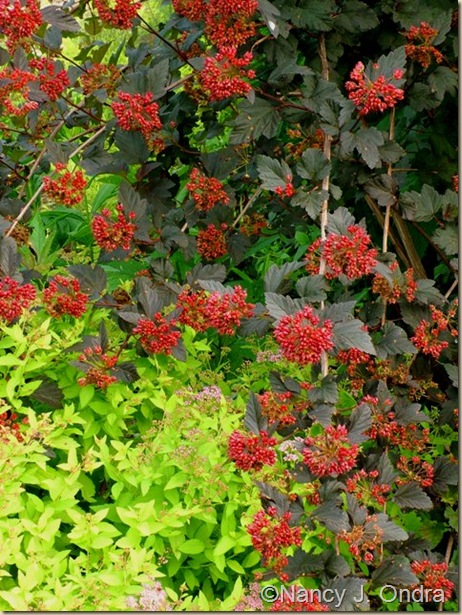 Physocarpus opulifolius Monlo Diabolo June 14 08