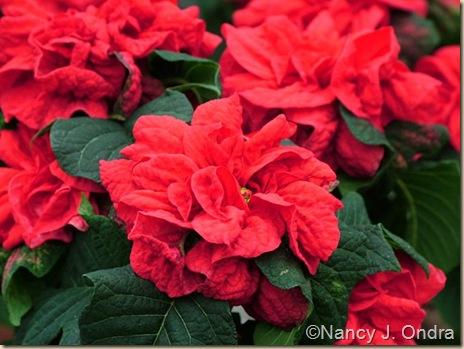 Poinsettia Winter Rose Red Nov 23 09