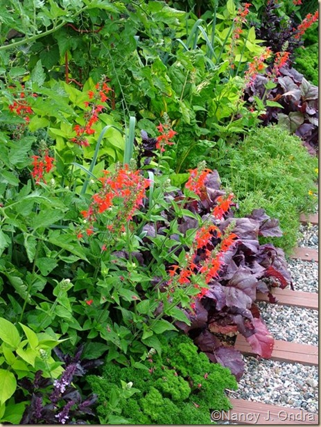 Salvia coccinea Lady in Red Beet Beet Bulls Blood July 19 07