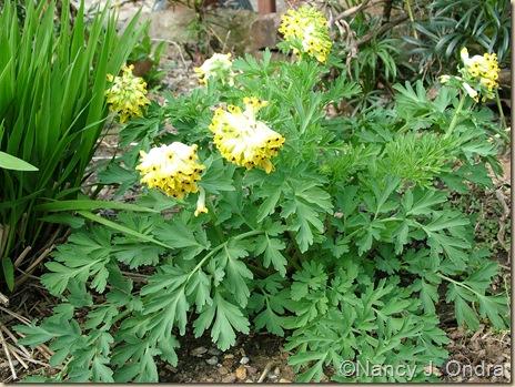 Corydalis nobilis April 11 10