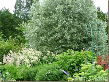 Salix alba var. sericea June 13 09