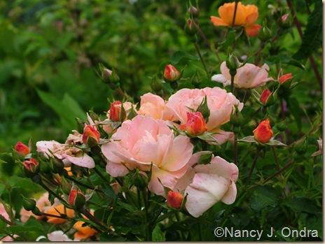 Rosa 'Flower Carpet Amber'