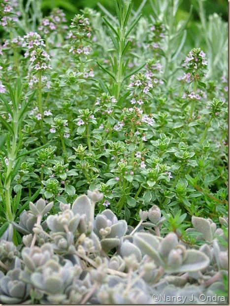 Thymus vulgaris 'Argentea' Rosmarinus officinalis Orostachys iwarenge