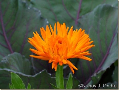 Calendula officinalis 'Radio' Cabbage 'Ruby Perfection'