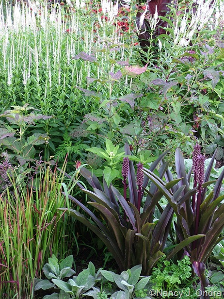 Eucomis Oakhurst Imperata Hibiscus Plum Crazy Veronicastrum July 22 06