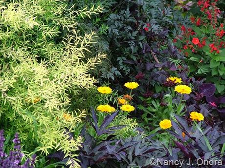Calendula officinalis, Spiraea thunbergii 'Ogon' (Mellow Yellow), Ipomoea batatas 'Sweet Caroline Purple', Dahlia 'Bishop of Llandaff', and Salvia coccinea 'Lady in Red'