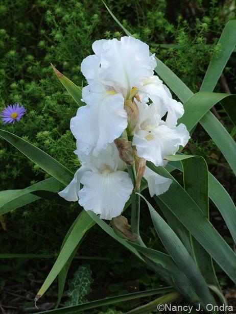 Iris 'Immortality' Sept 14 10