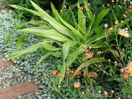 Zea mays 'Tiger Cub' with Chrysanthemum 'Sheffield Pink' and Dichondra argentea 'Silver Falls' Oct 13 10