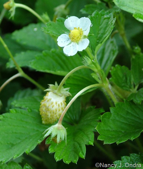 Fragaria vesca 'White Soul' (alpine strawberry) flower and fruit