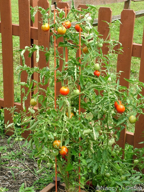 Tomato 'Variegated' plant