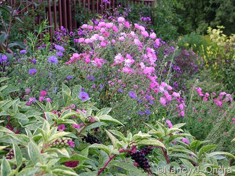 Symphyotrichum novae-angliae seedlings with Phytolacca americana 'Silberstein'