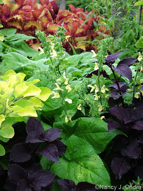 Salvia koyame with coleus 'Dark Star' and Cotinus coggygria Golden Spirit ('Ancot')