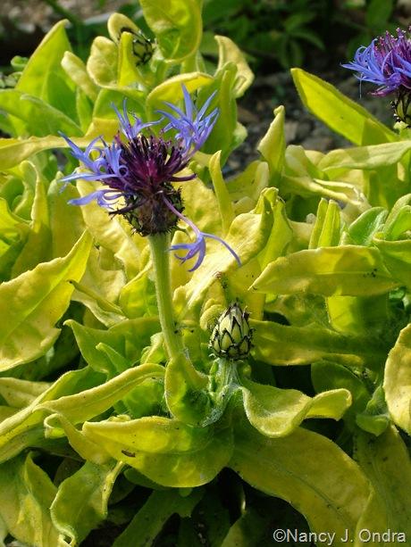 Centaurea montana 'Gold Bullion'
