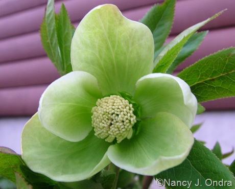 Helleborus x hybridus greenish white
