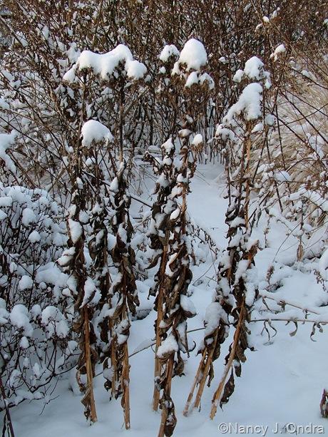 Phlox hybrid in snow