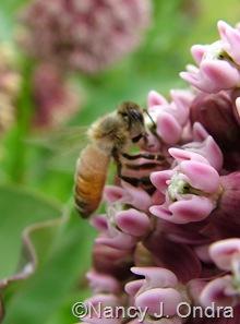 Bee on Asclepias syriaca
