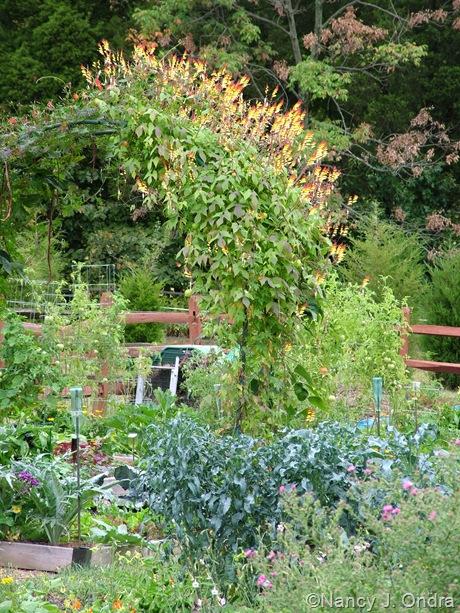 Spigarello plants in September