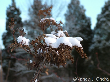 Filipendula rubra in snow