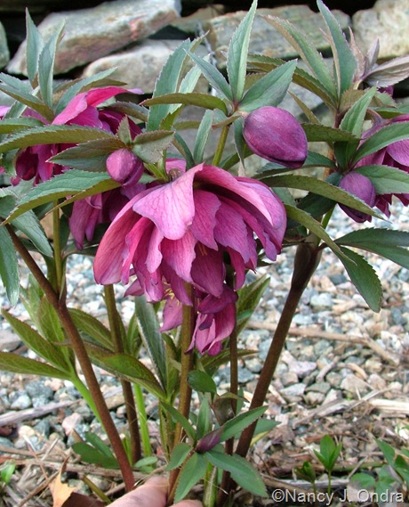 Helleborus x hybridus double