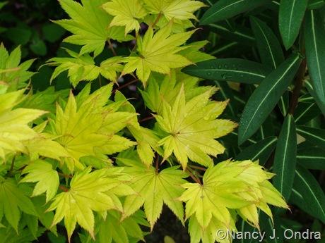 Acer shirasawanum 'Aureum' with Euphorbia 'Excalibur'