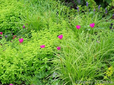 Callirhoe involucrata with Sedum 'Angelina', Carex muskingumensis 'Oehme' and Origanum vulgare 'Aureum'