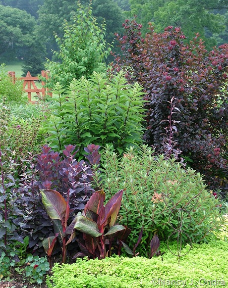 Canna 'Phaison' (Tropicanna) with Cotinus 'Velvet Cloak', Euphorbia griffithii 'Fireglow', Eupatoriadelphus maculatus, and Physocarpus opulifolius 'Monlo' (Diabolo)