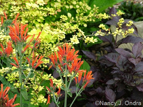 Dicliptera suberecta and Berberis thunbergii 'Aurea' with Alternanthera dentata 'Purple Knight'
