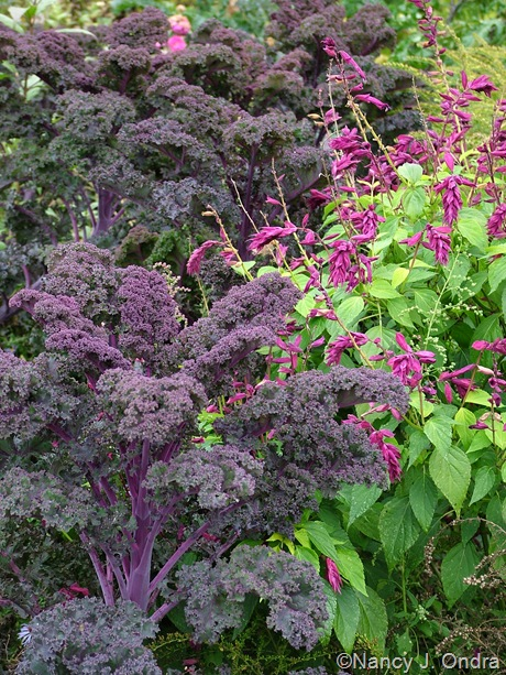 Kale 'Redbor' with Salvia 'Paul'