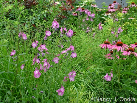 Sidalcea 'Party Girl' with Echinacea purpurea