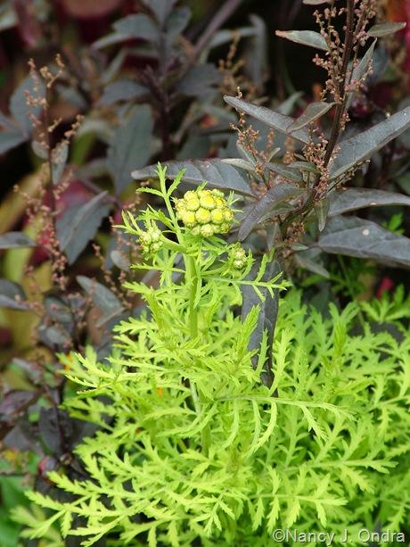 Tanacetum vulgare 'Isla Gold' with Atriplex hortensis 'Rubra'