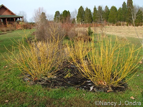 Cornus sericea 'Budd's Yellow' [Dec 14 2009]