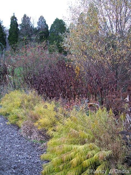 Amsonia hubrichtii with Persicaria polymorpha, Salix alba var. sericea, and Rosa rubiginosa [November 9, 2008]