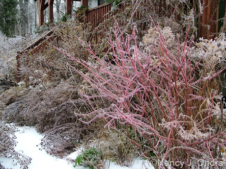 Cornus sericea subsp. occidentalis 'Sunshine' [December 17, 2008]