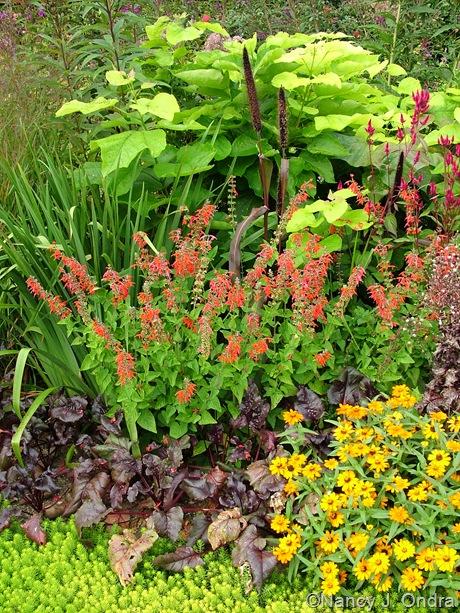 Catalpa bignonioides 'Aurea' behind Pennisetum glaucum 'Jester', Salvia coccinea 'Lady in Red', Beet 'Bull's Blood', Zinnia 'Profusion Orange', and Sedum 'Angelina' [August 25, 2008]