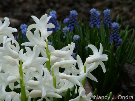Hyacinthus 'Festival White' and Muscari mid-April 2011