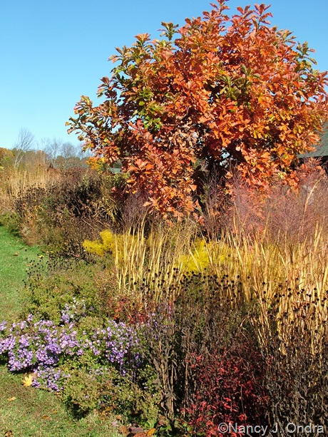 Quercus dentata with Gillenia stipulata (fall color), Echinacea purpurea (seedheads), Symphyotrichum oblongifolium, Panicum virgatum 'Dallas Blues', and Amsonia hubrichtii late October 2009