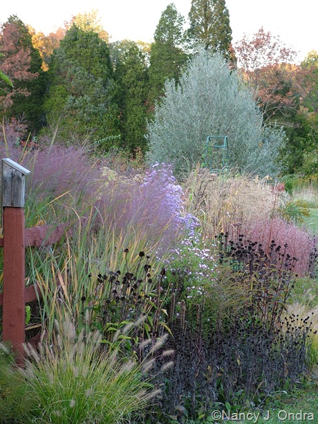 Salix alba var. sericea with Pennisetum alopecuroides 'Cassian', Rudbeckia fulgida and Echinacea purpurea seedheads, Panicum virgatum 'Dallas Blues', Symphyotrichum novae-angliae, Aster tataricus, Schizachyrium scoparium 'The Blues', and Panicum amarum 'Dewey Blue' mid-October 2008