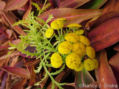 Tanacetum vulgare 'Isla Gold' with Persicaria affine 'Dimity' mid-November 09