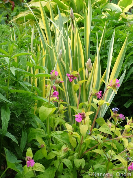 Silene dioica 'Ray's Golden Campion' with Iris pallida 'Variegata'