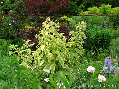 Symphytum x uplandicum 'Axminster Gold' with Acer palmatum and Iris x robusta 'Gerald Darby' May 19 2011